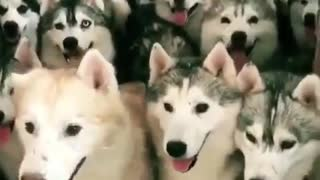 How many real dogs there?