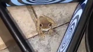 what happens when the frogs are hypnotized???