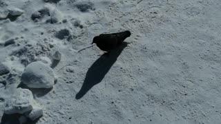 A lone dove walks in winter.