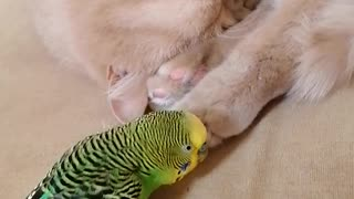 Птица заботится о коте, перебирает шерсть на лапе