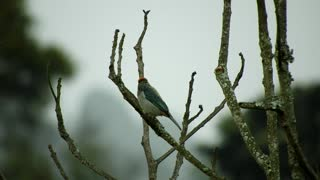 Watch the beautiful Ave sparrow colored with rare reds in the tree branches at noon, it's really fun