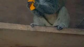 Monkey Vs Mango