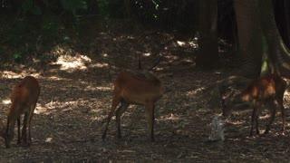Three Impalas