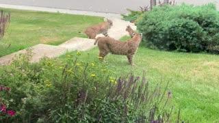 Bobcat Family Having Fun in Front Yard