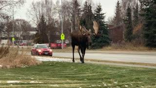 Massive Bull Moose Going for a Stroll
