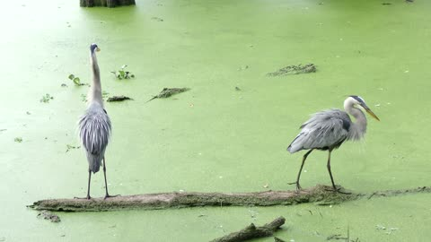 Great Blue Herons on a log in Florida swamp