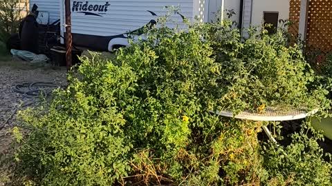 One tomato plant