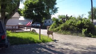 Neighborhood Mule Deer