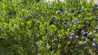 California Lilac in Bloom
