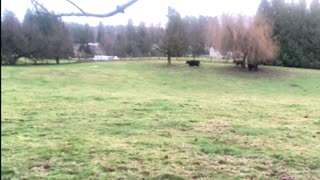 Cows in a field with relaxing music