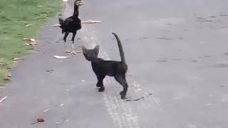 Shamo Chicken & Egyptian Cat
