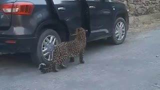 Viral video with leopard