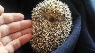 Hedgehog waking up