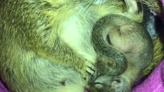 Mother and Baby squirrel sleeping