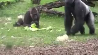 Mummy Gorilla Takes Care of Baby