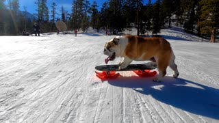 Skilled Bulldog Loves to Snow Skate