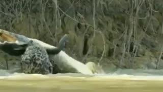 Crocodile is hunted!