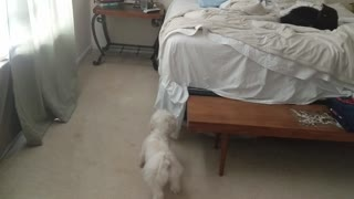 Cat Pulls Disappearing Act on Puppy. Cat = 1, Dog = 0