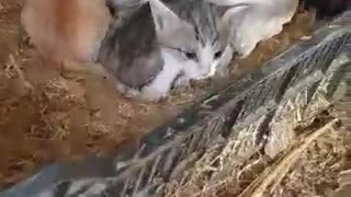 Mother Hen Shelters Three Kittens