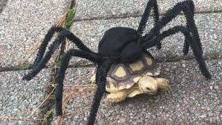 Tortoise has a Terrific Costume