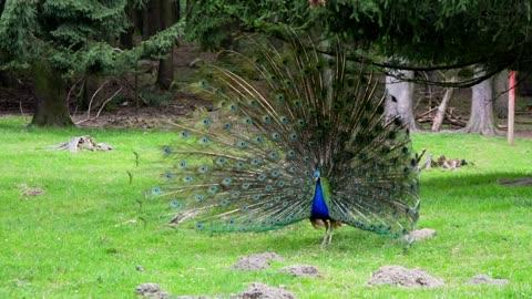 Indin Peacock bird