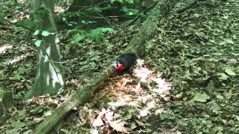 Pileated Woodpecker || Dickerson Mine Preserve, Mine Hill, NJ