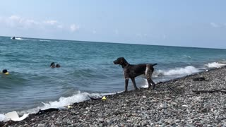 Focused Dog Has a Mission to Keep a Clean Beach