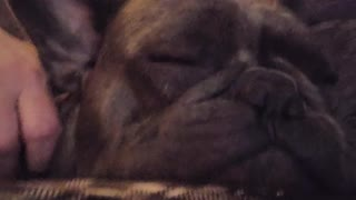 Little Frenchie makes the most epic snoring sounds