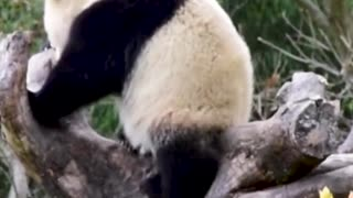 Funny video with Panda