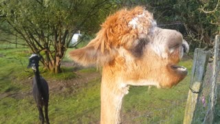 Funny Alpaca eating apples