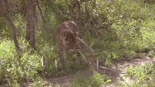 Monitor Lizard vs Leopard Real Fight
