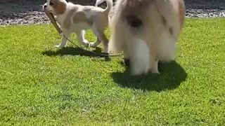 Puppy walking dog with leash