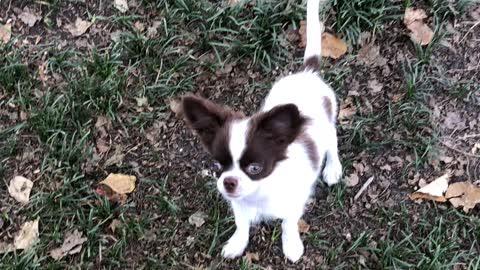 Chihuahua play time