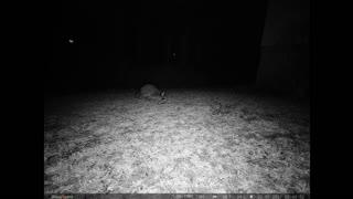 Neighborhood raccoon