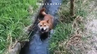 A Dog Pulls Water in A Waterway.