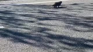 Worried for a Groundhog Playing in Traffic