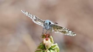 Marco Footage Targeting Fly Collects Flower Nectar