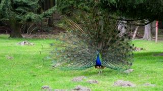 Peacock. Beautiful bird in nature