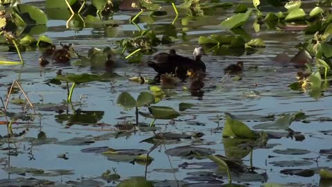 Ducks Swimming in a Pond Stock Video
