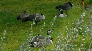Female Ducks Take Morning Resting On Beautiful Grass