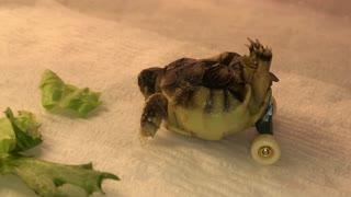 Wheeled Tortoise Gets Around