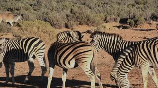 Zebra with his friends