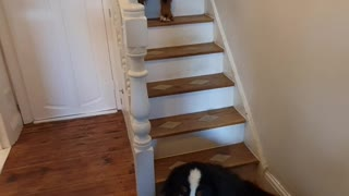 Bernese Mountain Dogs on the stairs