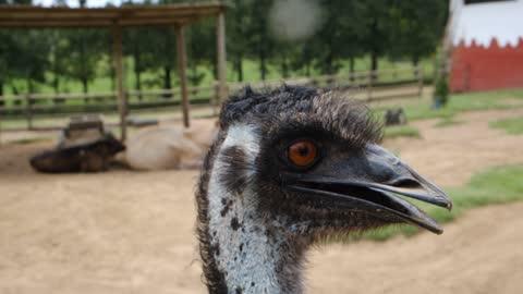 An Emu Up Close