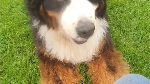 Bernese Mountain Dog keeps asking for more treats