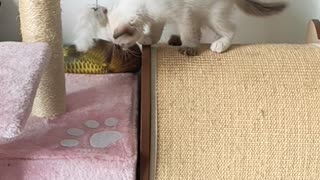 New Adopted Kitten: Estella is exploring her new house