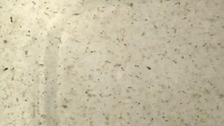 Harvest of Tigrioupus Californicus copepods for live food