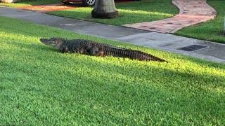 Alligator Strolls Along Sidewalk