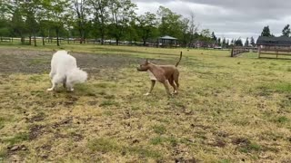 See what happens when a Pitbull attacks a German Shephard [Unleashed]