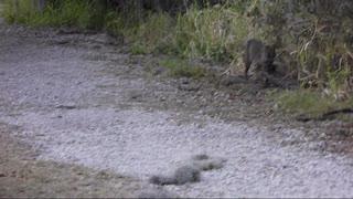 Bobcat on a trail